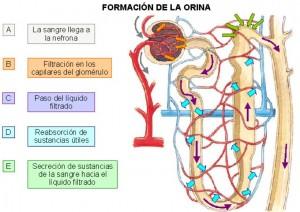 form-orina