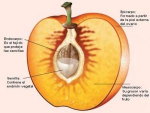 Vegetales - partes de una fruta Mesocarpo