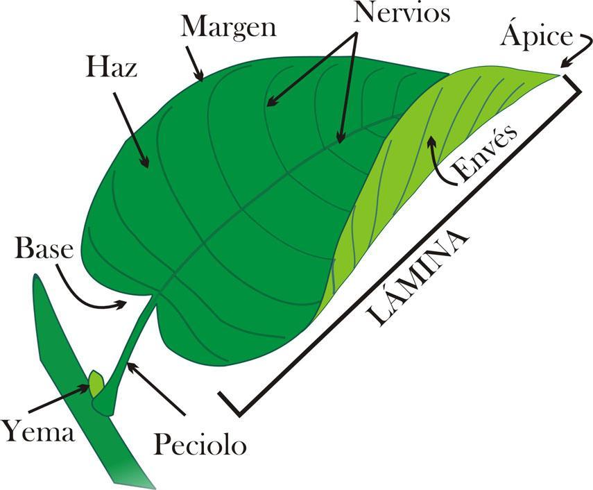 La hoja partes y funciones for Un arbol con todas sus partes