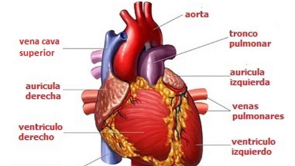 Esquema de sistema cardio vascular humano