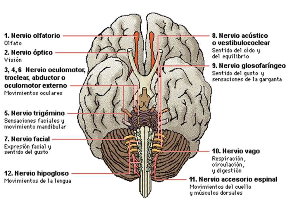 Esquema resumen del sistema nervioso del hombre